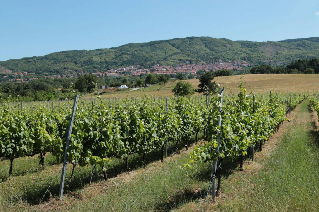 wijnranken op een wijnveld met in de verte een dorp tegen een heuvel