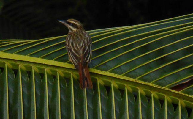 www.hoogstinstravel.nl Panama kleine vogel