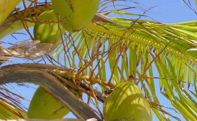 www.hoostinstravel.nl Panama cocos